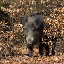 5-Wildschwein